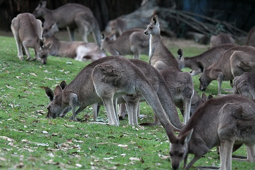 Lone Pine Koala Sanctuary -  Kangaroo
